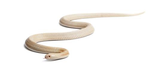 Albinos monocled cobra  - Naja kaouthia (poisonous)