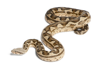 Moorish viper  - Macrovipera mauritanica, poisonous