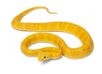 Yellow Eyelash Viper - Bothriechis schlegelii, poisonous