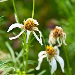 The wilt cosmos flowers
