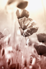 Wall Mural - Poppies