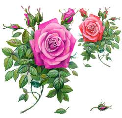 Pink roses, pink rose