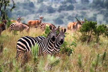 Aluminium Prints Africa Akagera National Park in Rwanda