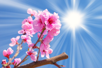 peach blossoms under blue sky with sun