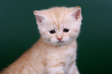 Scottish strite kitten on the green background