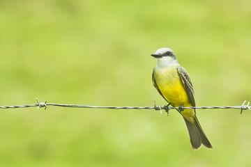 Tropical Kingbird II