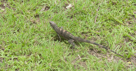 Lizard on Meadow