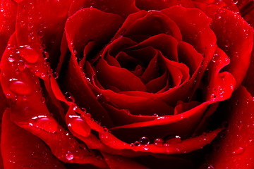 Foto auf AluDibond Makro red rose with water drops