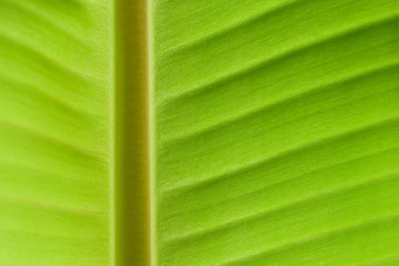 close up of back lit banana leaf
