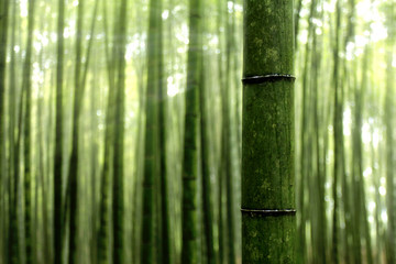bamboebos in de ochtendzon