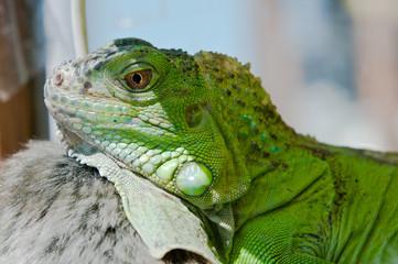 Iguana hiding the shade in terrarium