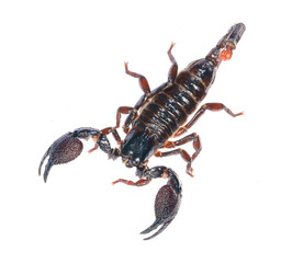 Scorpion Pandinus imperator isolated on white