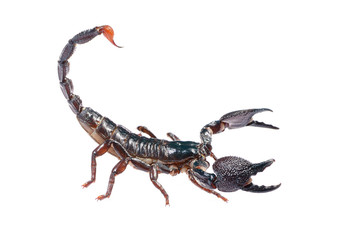Scorpion Pandinus imperator in posture of agression isolated