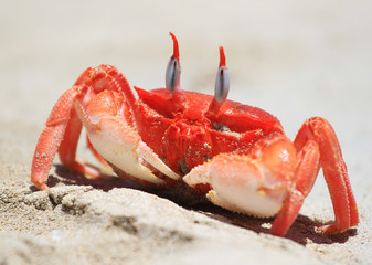 Crab in a sand