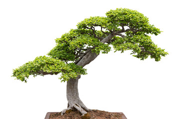 Green bonsai tree on white background