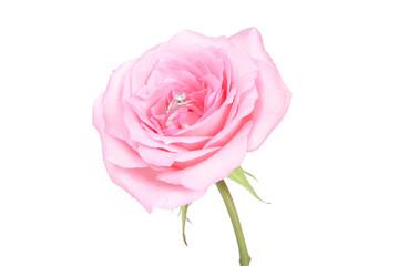 romantic wedding rings on pink rose flower