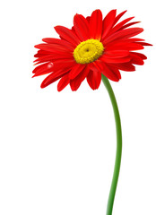 Fototapete - Beautiful red flower in front of the white background