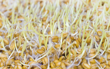 The sprouted grains of wheat.