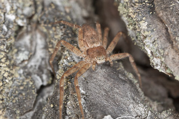 Hunting Spider camouflaged on wood, macro photo