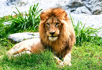 lion laydown in zoo
