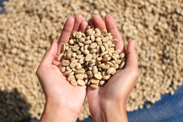 fresh coffee grains in hands.