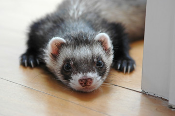 Sable ferret Wall mural