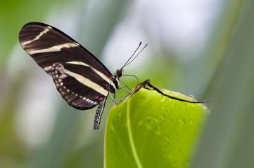 Foto auf Leinwand Schmetterling Heliconius hecale (Portrait)
