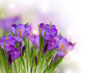 Fotoväggar - Crocus Spring Flowers