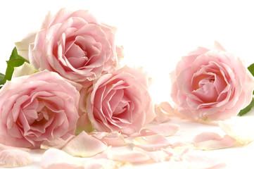 Close up of the pink rose petals