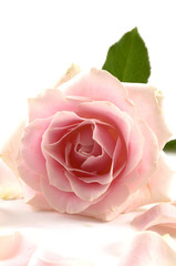 Pink rose with leaves and petals isolated on white