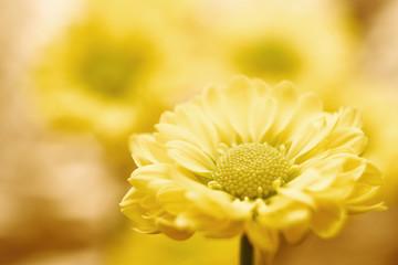 Beautiful spring chrysanthemum flowers on yellow background