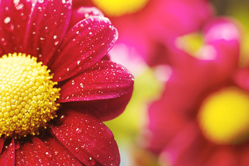 Beautiful dewy chrysanthemum flowers