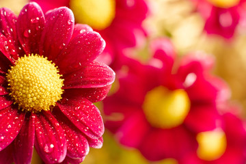 Beautiful dewy chrysanthemum flowers on yellow background