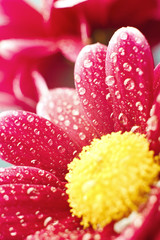 Beautiful spring chrysanthemum flowers