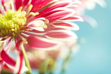 Beautiful spring chrysanthemum flowers on blue background