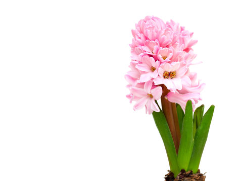 pink hyacinth and empty space for your text