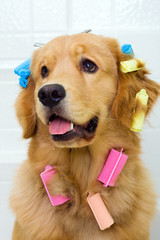 Pretty dog in funny hair curlers