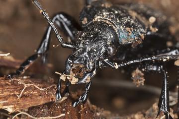 Violet ground beetle, carabus violaceus, macro photo