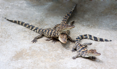 Small crocodiles