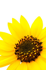 Macro of Sunflower on white background