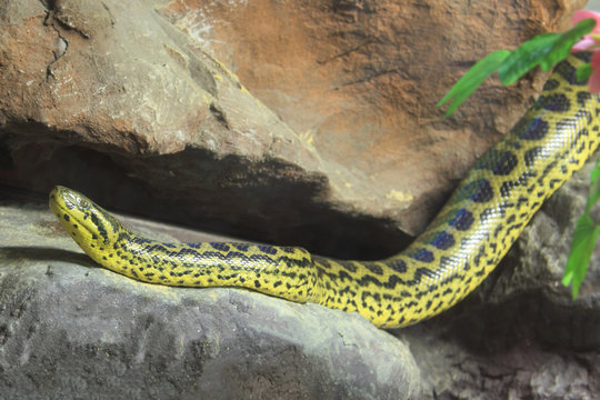 Yellow Anaconda [ Eunectes notaeus ] on the rock.