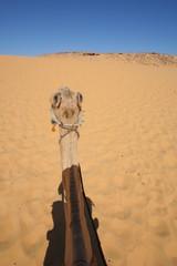 chameau , Egypte 2
