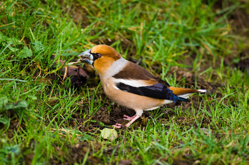 Hawfinch close-up