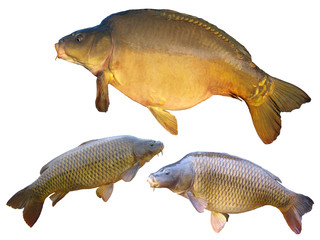 Common carps and mirror carp isolated on white background