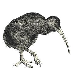 Kiwi (Apteryx australis)