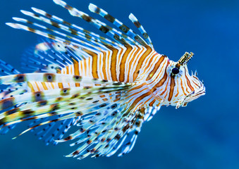 Lionfish in blue water