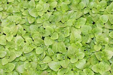 keep growing green leaves of lettuce ready to harvest