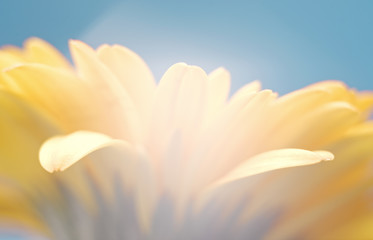 Yellow gerbera flower on blue background