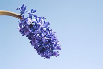 Blue hyacinth flower on blue background