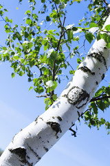 Printed roller blinds Birch Grove Trunk and green leaves of a birch against the sky